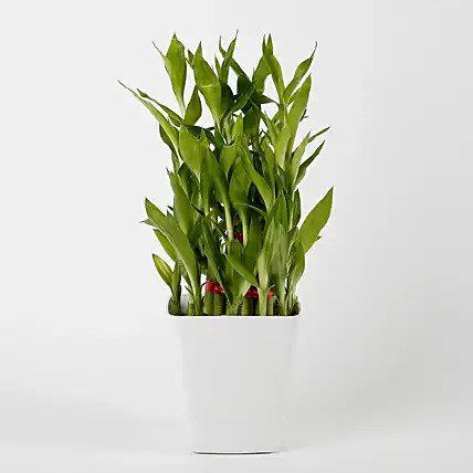 3 Layer Bamboo Plant in Striped Imported Plastic Pot