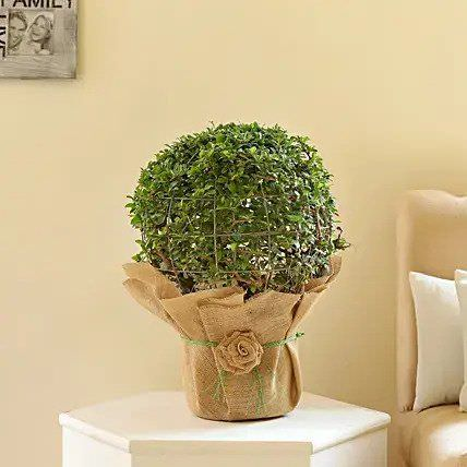 Ball Shaped Carmona Bonsai Plant