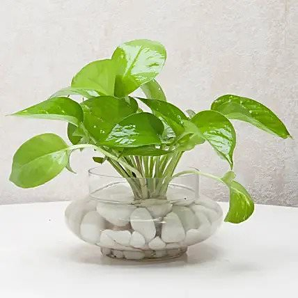 Divine Money Plant Terrarium