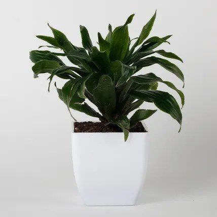 Dracaena Compacta Plant in White Imported Plastic Pot