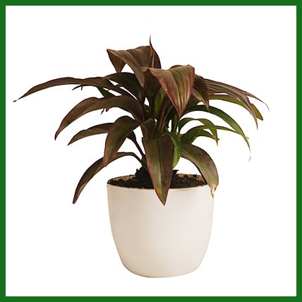 Dracaena Red Ruby