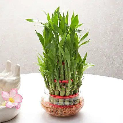 Good Luck Three Layer Lucky Bamboo Plant
