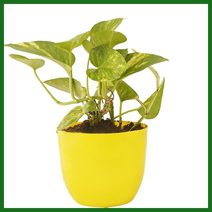 Prosperous Green Money Plant