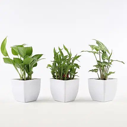 Set of Foliage & Bamboo Plants In White Pot