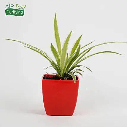 Spider Plant in Imported Plastic Red Pot