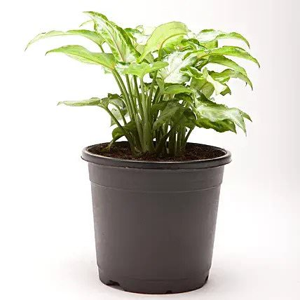 Syngonium Green Plant in Black Plastic Pot