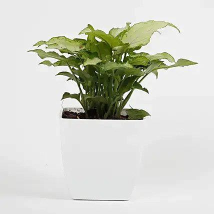 Syngonium White Plant in Imported Plastic Pot