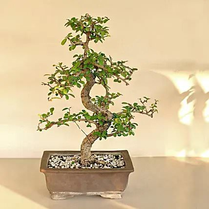 Traditional Bonsai Carmona Plant