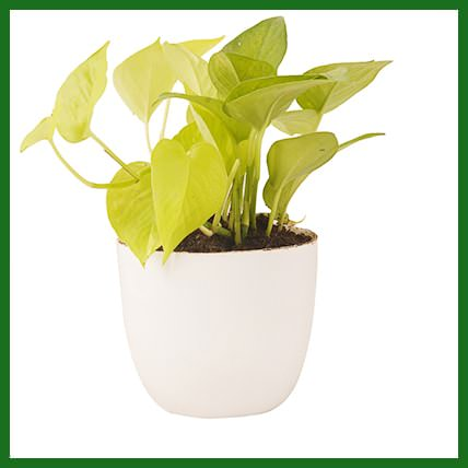 Golden Money Plant