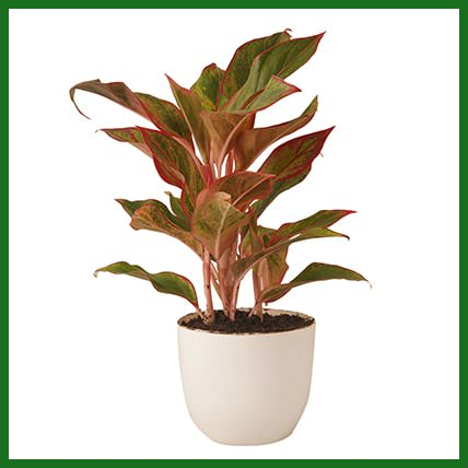 Red Aglaonema Plant